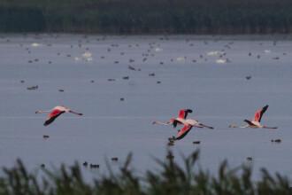 Aparitie foarte rara in Romania. Patru pasari flamingo au fost fotografiate pe un lac, spre bucuria ornitologilor. FOTO