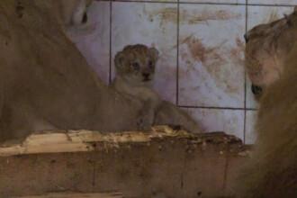 Leii lui Nutu Camataru, mai fericiti la ZOO decat printre interlopi. Felinele se pregatesc pentru un