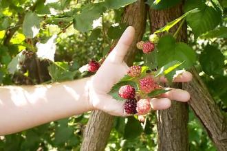 Fructele de padure, putine si la mare cautare in acest an. Profitul obtinut de catre un cultivator din Bistrita
