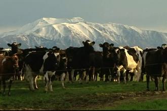 500 de vaci au disparut in mod misterios de la o ferma din Noua Zeelanda. Motivul pentru care hotii nu le-ar putea vinde
