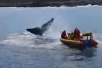 Operațiunile de salvare a două balene, captive în plasele pescarilor VIDEO