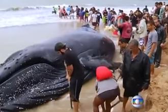 Un pui de balenă a eșuat pe o plajă din Brazilia. Ce a urmat