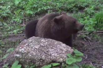 Atac al unei ursoaice cu doi pui, într-o gospodărie din Fundata. Animalul a mâncat un miel