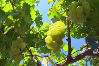 Deveniţi în timp o marfă rară, strugurii de masă româneşti vor fi şi mai puţini anul acesta