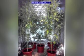 Șase suspecți din Buzău, bănuiți că au cultivat și comercializat canabis