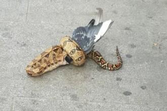Șarpe Boa filmat în timp ce devora un porumbel. VIDEO