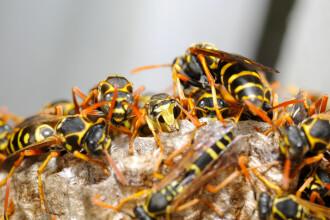 Viespile au devenit extrem de agresive. 2 români, ucişi de insecte, câteva zeci - la spital