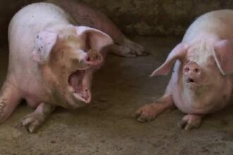 Sătenii care, în frunte cu primarul, îşi apără porcii de sacrificare.
