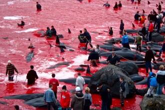 Apa oceanului s-a făcut roșie, după ce sute de balene au fost sacrificate în Insulele Feroe. VIDEO