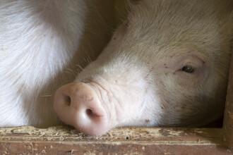Acţiunea cu cel mai puternic impact a ultimilor 30 de ani: sacrificarea a 140.000 de porci