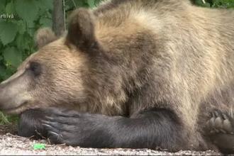 """Oamenii dintr-un sat din Mureș, disperați din cauza unui urs care le atacă oile. """"L-am văzut cum o mânca"""""""