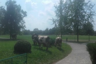A lăsat vacile la păscut lângă Coloana lui Brâncuşi. Amenda primită