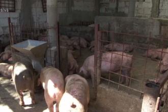 Zeci de mii de porci, uciși la cea mai mare fermă din România. Unde vor fi duse cadavrele