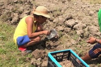 O femeie din Bihor cultivă cel mai scump condiment din lume. Un kilogram se vinde cu 28.000 de euro