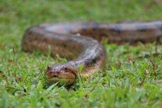 Un anaconda de aproape 3 metri, prins de autorități după 6 zile. Unde a stat ascuns