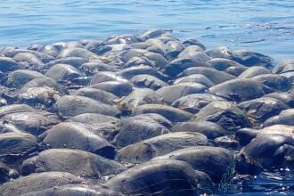 Tablou macabru în ocean. Peste 300 de țestoase marine au fost găsite moarte în năvoade