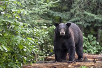 Canadian atacat de urs în zona Valea Mărului. Bărbatul a sunat la 112