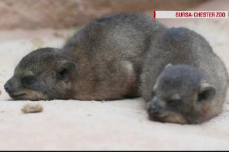 Sărbătoare la o grădină zoologică unde s-au născut trei pui de hirax