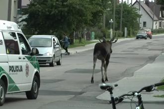 Un elan a fost escortat de poliție de pe străzile unui orășel din Lituania