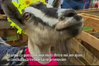 Într-un oraș din Ucraina, se organizează concurs pentru a alege cea mai frumoasă capră
