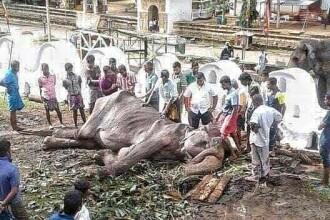 """Noi imagini sfâșietoare cu Tikiiri, elefantul înfometat la o paradă. """"E aproape de moarte"""""""