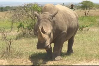 Rinocerii albi ar putea fi salvaţi, deşi mai există doar 2 femele. Soluţia cercetătorilor