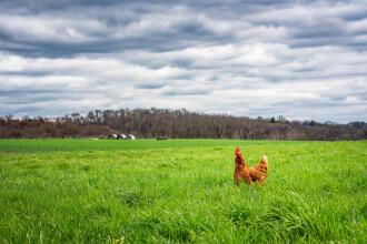 O femeie din Belgia a crezut că este o găină. Cum a găsit-o fratele său în grădină