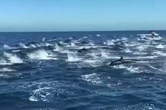 Spectacol impresionant pe coasta Californiei de Sud. Sute de delfini s-au strâns într-o formație perfectă