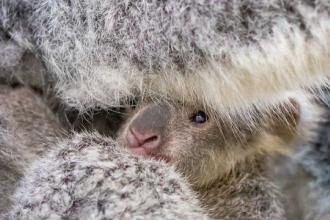 Grădina Zoo din Ohio sărbătorește ieșirea în lume a unui pui de koala. Cum arată. VIDEO