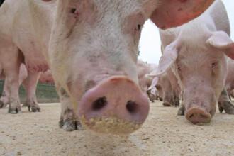 Porcii trebuie protejati de virusul gripal A (H1N1) aparut la om
