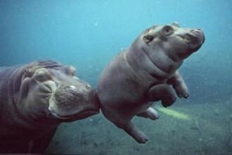 Are trei saptamani si cantareste 40 de kilograme. Iti plac hipopotamii?