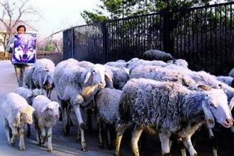 O poza cu un lup sperie oile din China!