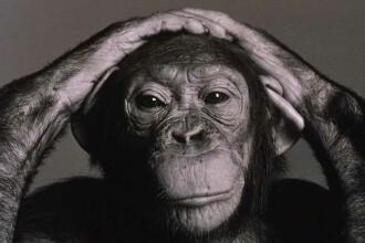 Cercetatorii au descoperit in Congo o comunitate de 10.000 de cimpanzei, care au ajuns sa se hraneasca cu leoparzi