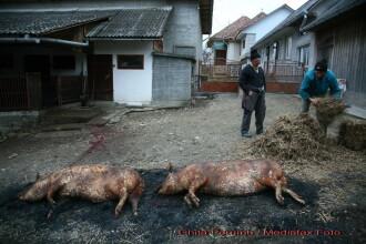 Concurs de taierea porcului in Timis