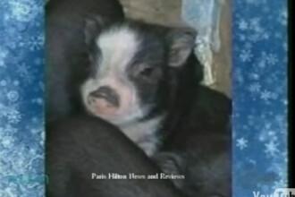 Paris Hilton are un nou animal de companie! Porcusorul Mr.Piglet!