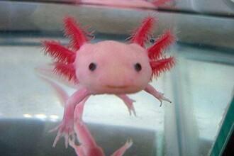 Revolutionar! Enzima unor amfibieni ar putea regenera organe lipsa la om