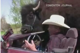 Un bizon de aproape 800 de kg,