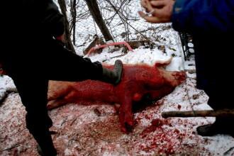 Foarte tare! Romani din SUA, arestati pentru ca injunghiau porcul de Ignat