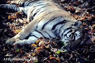 Tigrul care a scapat de la Gradina Zoologica a fost ucis de vanatori, dupa ce fusese tranchilizat