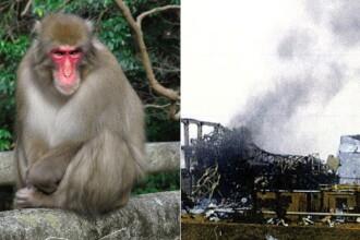Maimute trimise in zona contaminata de la Fukushima.