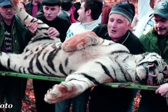 Declaratiile ingrijitorului de la ZOO Sibiu, de unde a evadat tigrul: