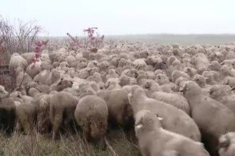 Ciobanii nostri nu mai reusesc sa-si vanda mioarele, iar cei bulgari umbla cu oaia