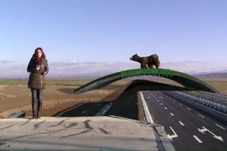 Autoritatile nu vor sa plimbe ursul prin Apuseni. Autostrada, modificata pentru a proteja animalele