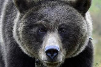 Un urs brun, siberian, a fost lovit intentionat cu trenul in Rusia, dar a supravietuit. Incidentul a fost inregistrat. VIDEO