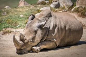 Angalifu, un rinocer alb nordic, de la un zoo din San Diego, a murit. Au mai ramas doar CINCI exemplare pe planeta