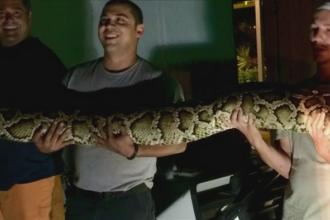 Sarpe gigant descoperit intr-un restaurant din SUA. A fost predat unui institut de cercetare a animalelor