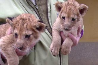 Doi pui de lei, abandonati de mama la Gradina Zoologica din Targu Mures, au fost adoptati de o catelusa maidaneza