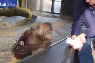 Reactia fabuloasa a unui pui de urangutan de la zoo la un numar de magie facut de un vizitator. VIDEO