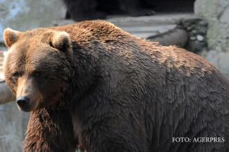 Un urs terorizeaza satele din Arges si ii lasa pe oameni fara porc de Craciun. De ce autoritatile au