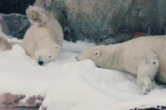 Surpriza facuta de ingrijitorii unei gradini zoologice ursilor polari. Care a fost reactia animalelor